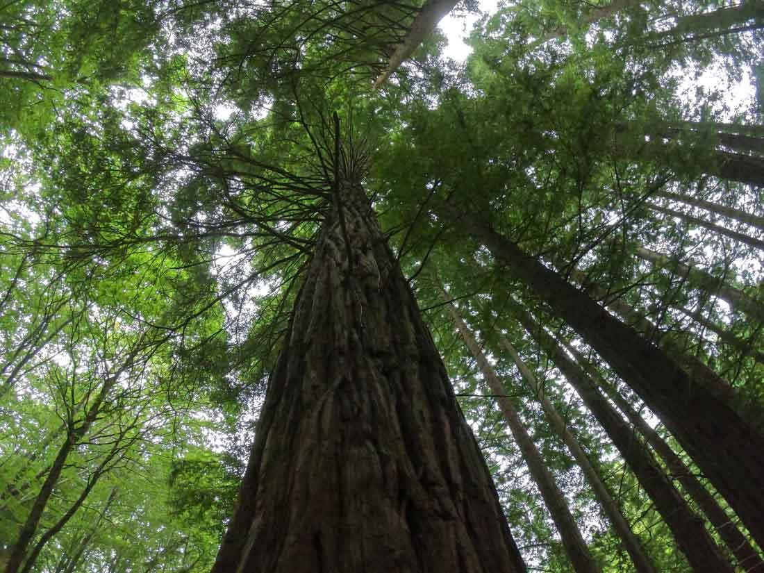 Las secuoyas son árboles gigantes.