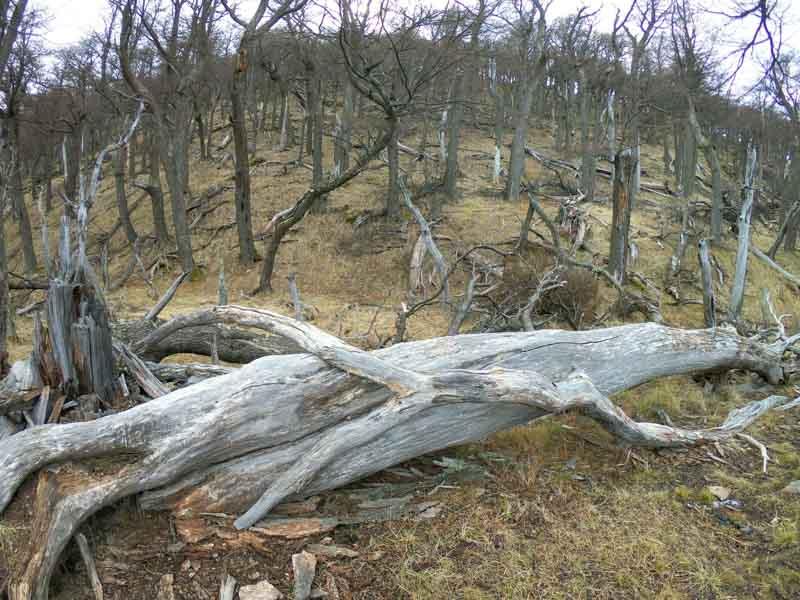 Arboles caidos en Patagonia