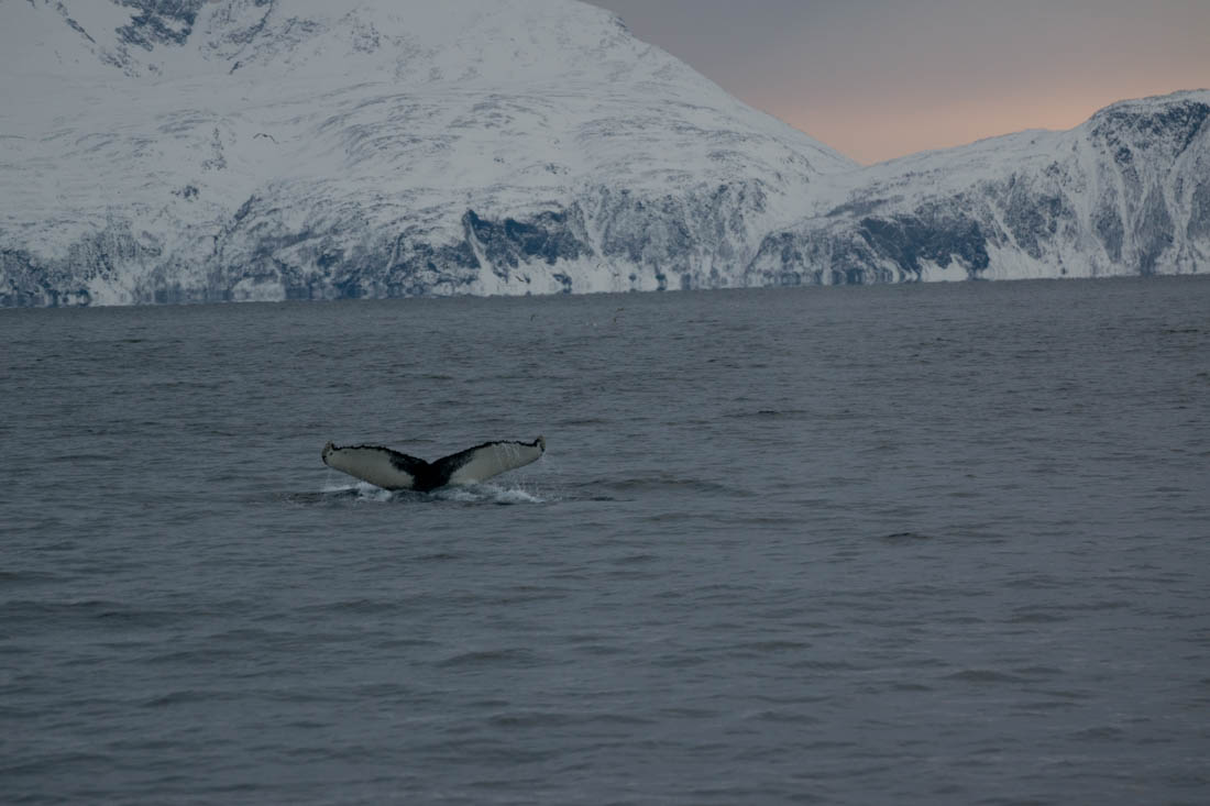 Excursión ballenas Tromso