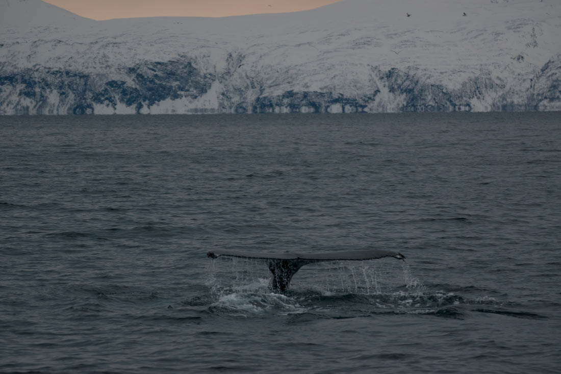 Ballenas en Tromso