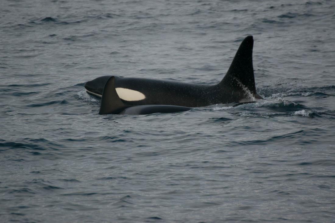 Ver orcas en Tromso