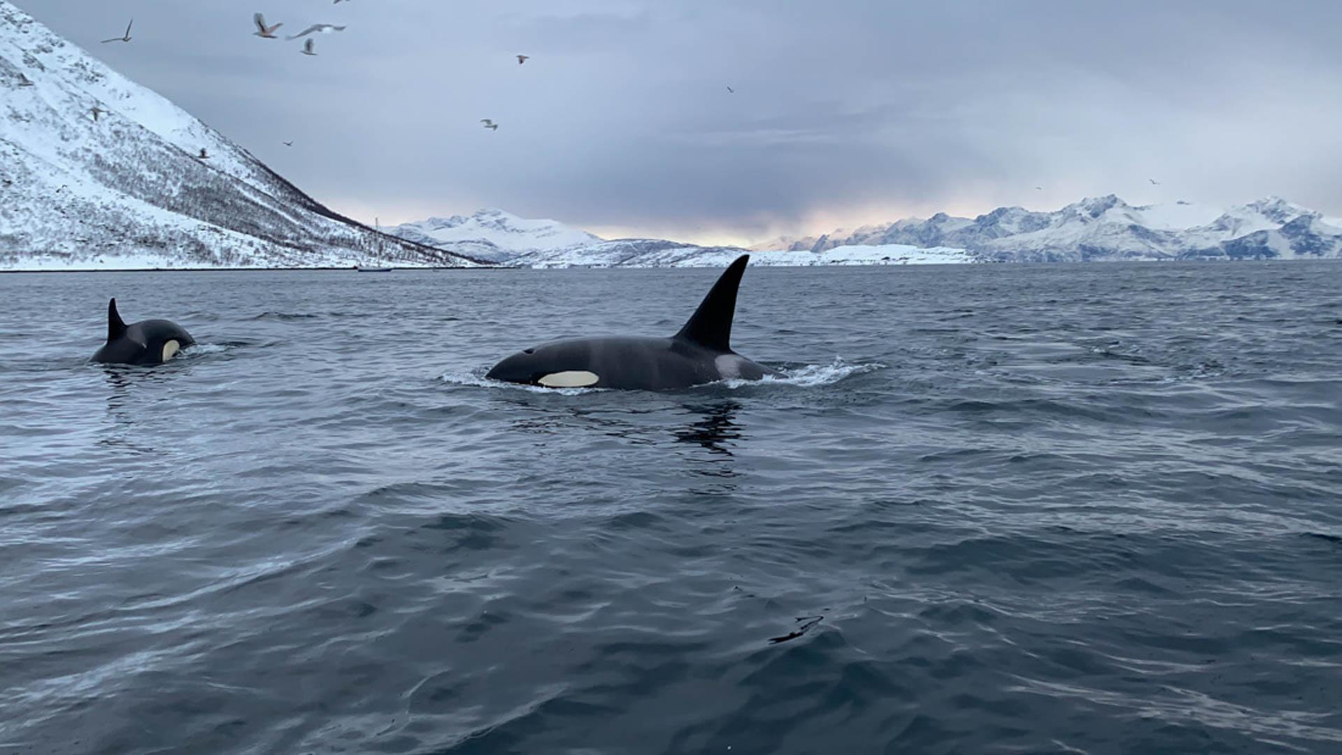 Orcas en Tromso