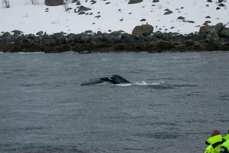 Avistamiento de ballenas en Tromso