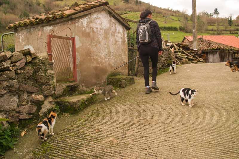 Gatos en la ruta La Castañal Belmonte de Miranda