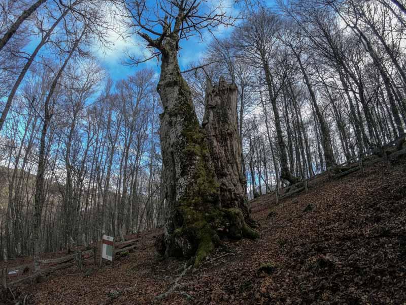 Roble en Redes Asturias