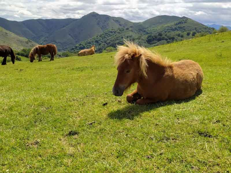 Pony en Les Praeres Nava Asturias