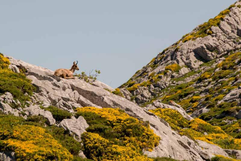 Rebecos en Asturias