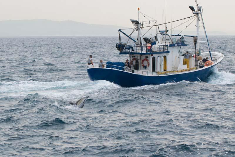 Delfín listado cerca barco de pesca en Cádiz Estrecho de Gibraltar