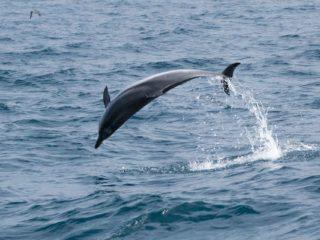 Delfín saltando en Tarifa avistamiento cetaceos en El Estrecho