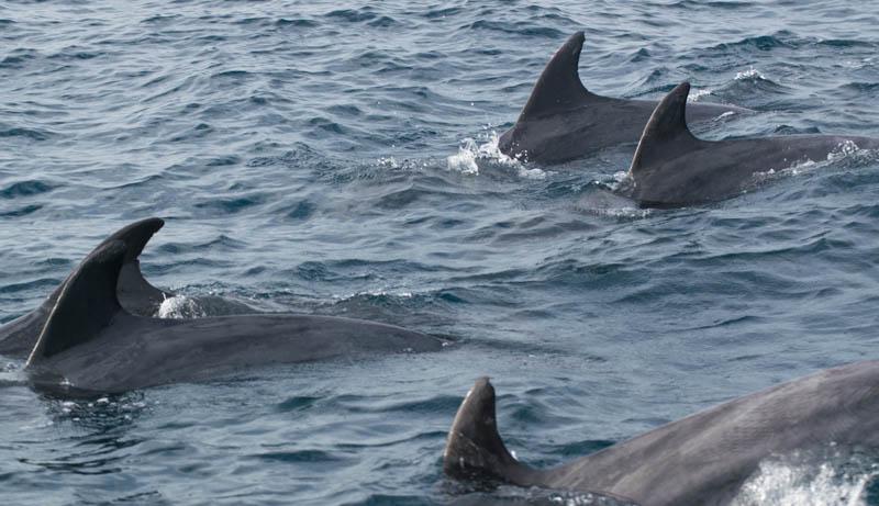 Delfines mulares en El Estrecho de Gibraltar Cádiz