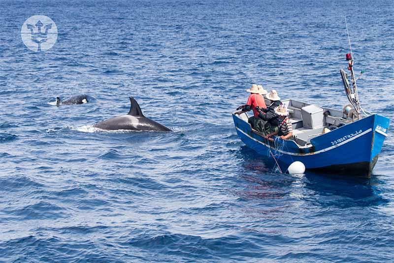 Orcas comiendo atún de los pescadores marroquíes
