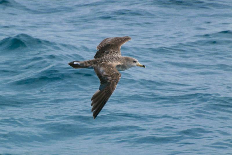 Pardela volando en El Estrecho de Gibraltar Cádiz