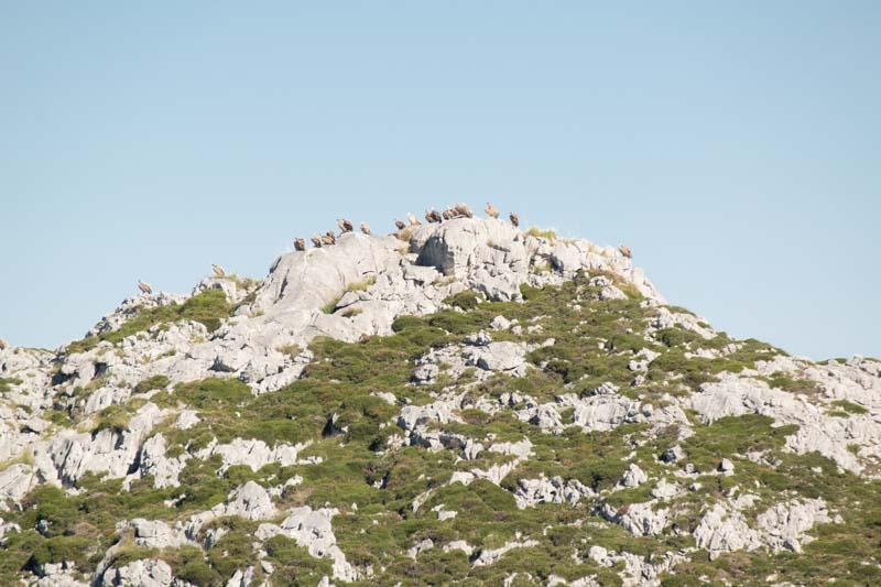 Buitres en Picos de Europa