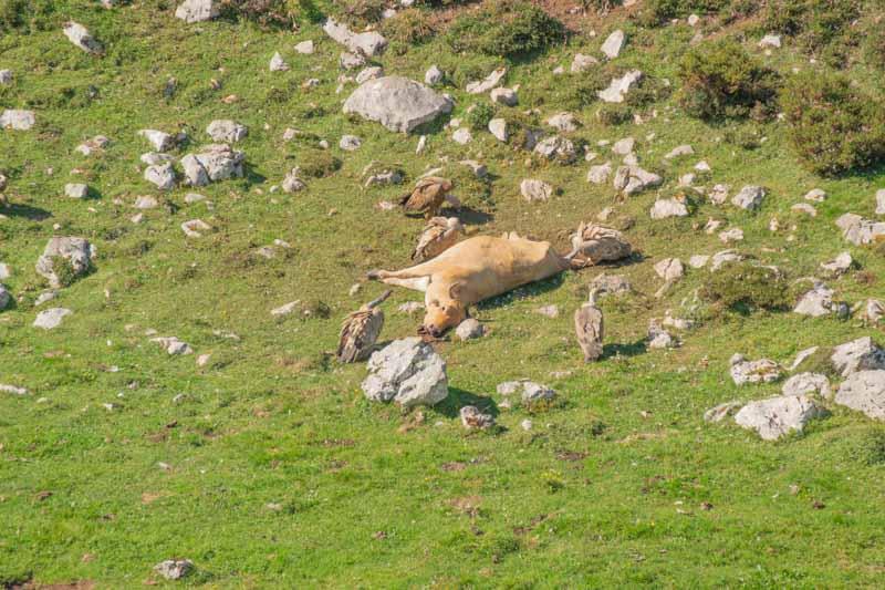 Fauna en Picos de Europa