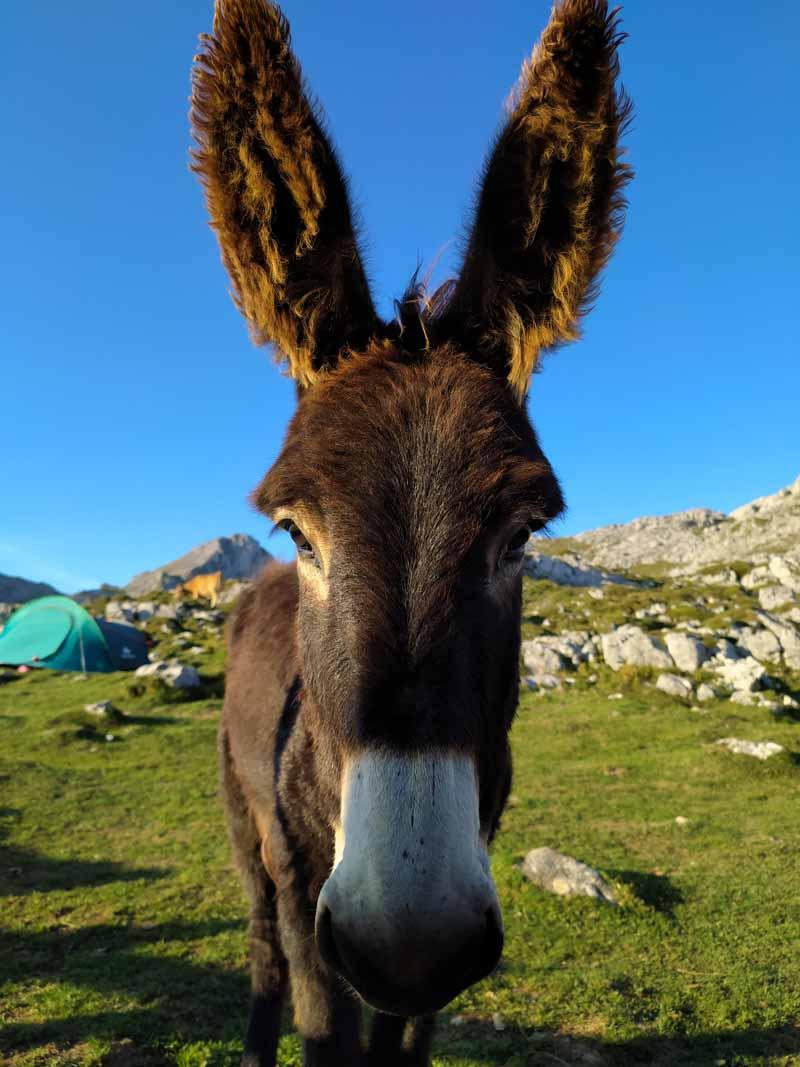 Hermoso burro en Vega de Ario, Picos de Europa, Asturias