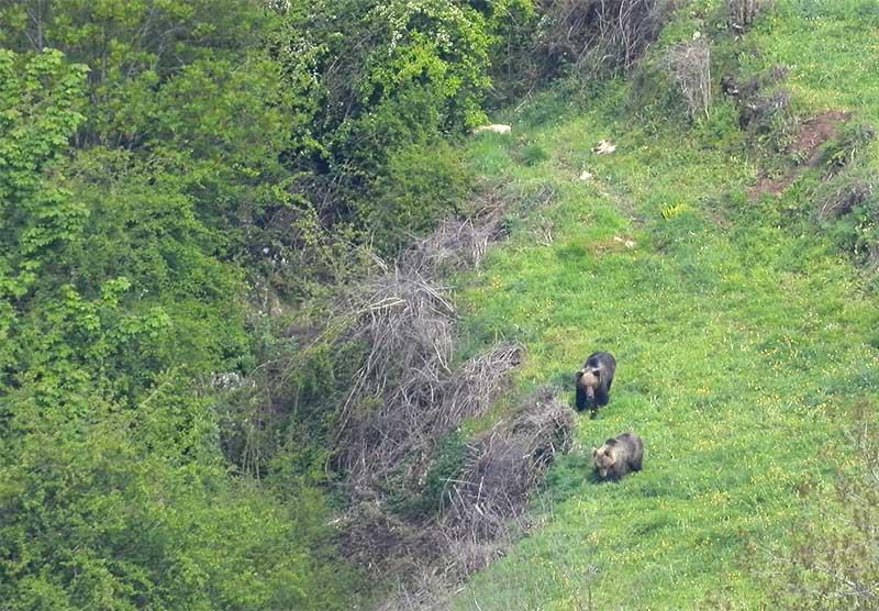 Osos pardo Cantábrico en Parque Natural de Somiedo