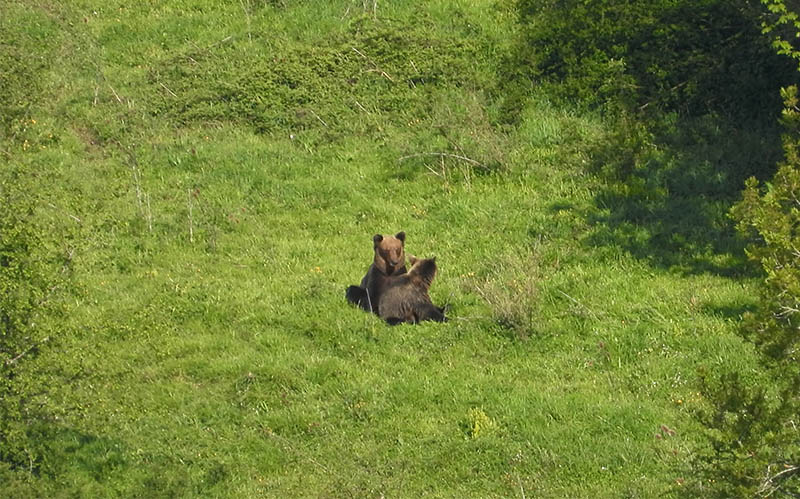 Pareja de osos en celo en Somiedo Asturias