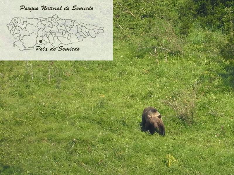 Oso cerca de Pola de Somiedo en Asturias