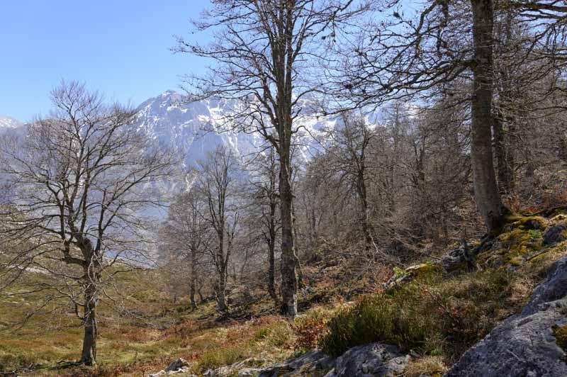Bosque hayas en la ruta a Peña Maín en Picos de Europa