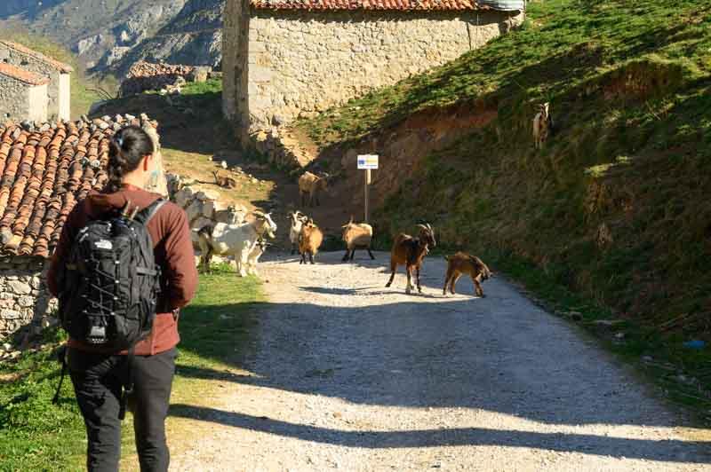 Cabras en Invernales del Texu, Sotres, Asturias
